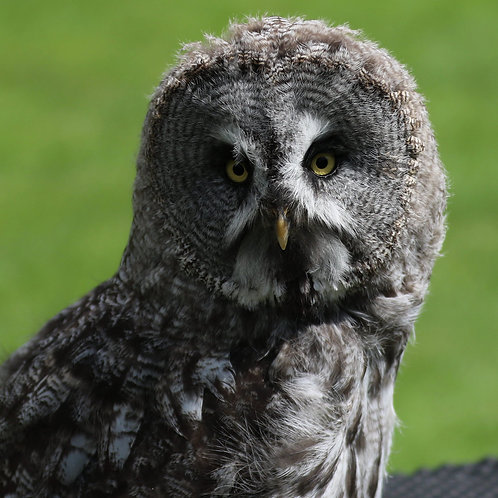 Great Grey Owls Adoption