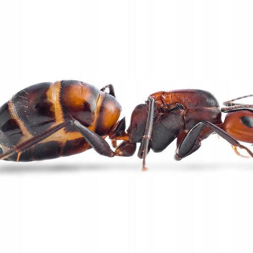 Sugar Ant (Caponotus nicobarensis)