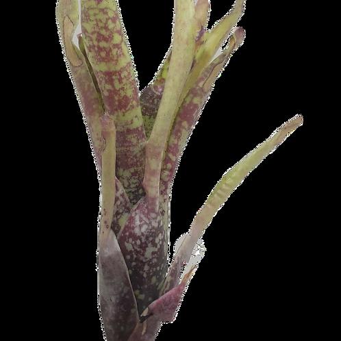 Green fireball hybrid bromeliad ( Neoregelia ampullacea x fluminensis)