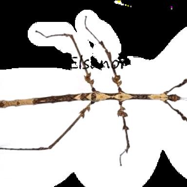 """Devil Horned Stick Insect Nymphs (Medauromopha regina """" Tay Yen Tu"""")"""