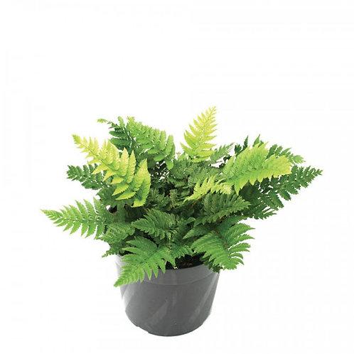 Braun's Holly Fern (Polystichum braunii)