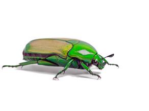 Fruit Beetle Care