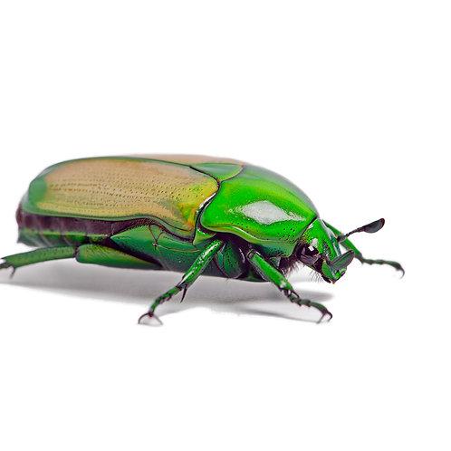 Green Jewel Beetle Grubs (Chlorocala africana smargdina)