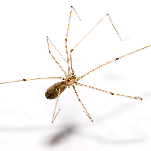 Daddy Longlegs Spiderlings (Pholcus phalangioides)