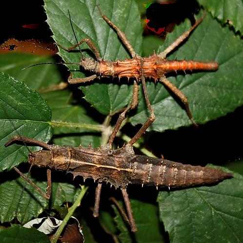Palaui Island Stick Insect Nymph (Tisamenus sp. Palaui)