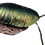 Thumbnail: Emerald Cockroach (Pseudoglomeris magnifica)