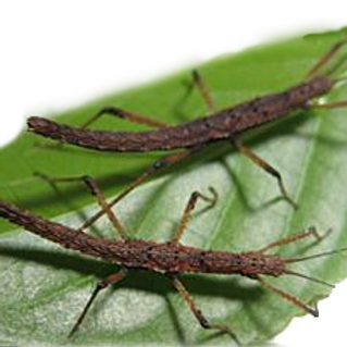 Vietnamese Prickly Stick Insects (Neohirasea maerens)