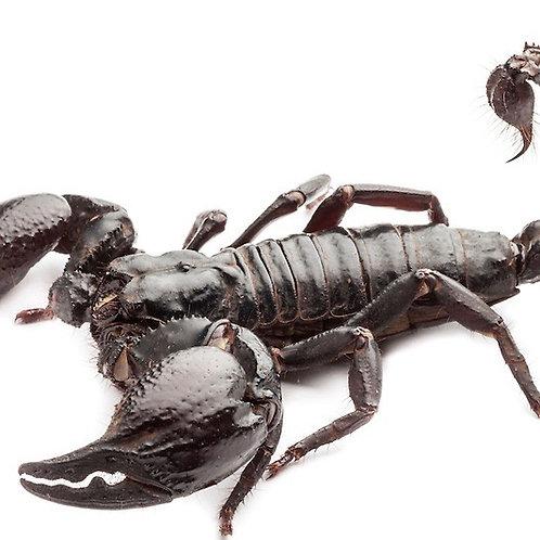 Asian Forest Scorpion (Heterometrus spinifer)