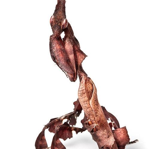 Ghost Mantis Nymph (Phyllocrania paradoxa)