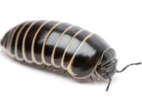 Woodlice & Pill Bug Care