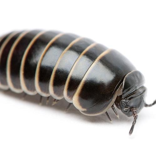 European Pill Millipede (Glomeris marginata)