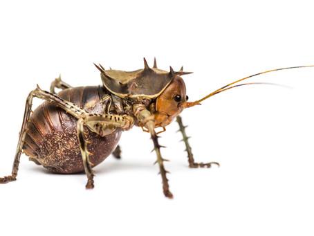 Armoured Cricket Care