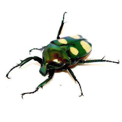 Jumnos Beetle Grubs (Jumnos ruckeri ruckeri)