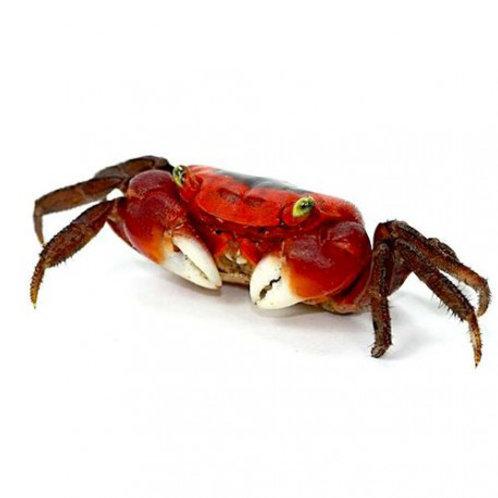 Red Apple Vampire Crab (Metasesarma aubryi)