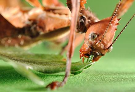 Extatosoma tiaratum. Unusual insect..jpg