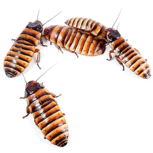 Halloween Hissing Cockroach (Elliptorhina javanica)