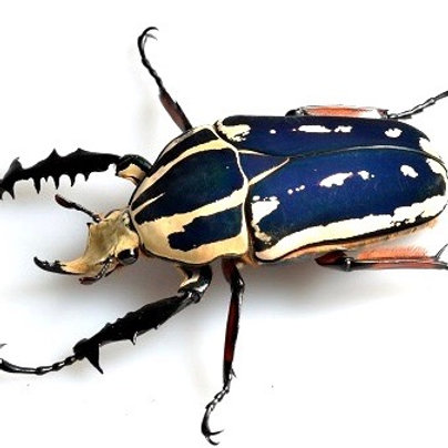 Giant Flower Beetle Grub  Blue Form (Mecynorrhina torquata ugandensis