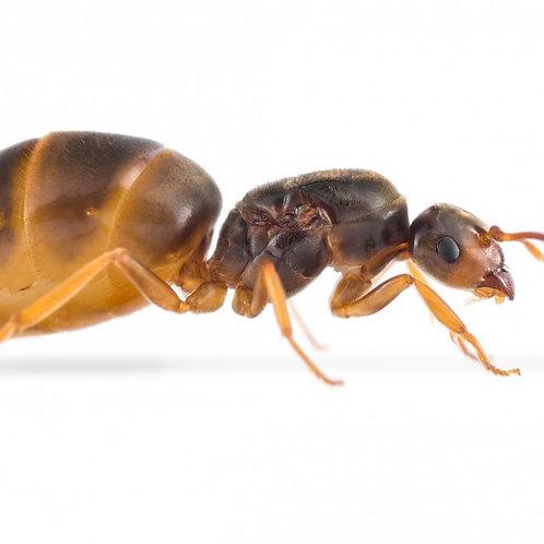 Yellow Meadow Ants (Lasius flavus)
