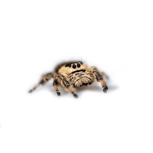 Regal Jumping Spider (Phidippus regius)