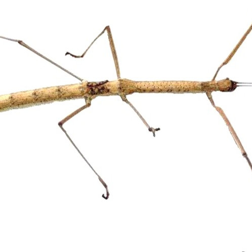 Budwing Stick Insect (Phaenopharos khaoyaiensis)
