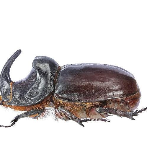 Coconut Rhino Beetle Grub (Oryctes monocerus)