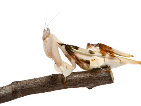 Orchid Mantids back in stock