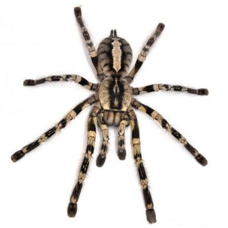Fringed Ornamental Tarantula (Poecilotheria ornata)