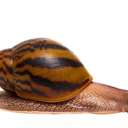 Tiger Land Snail (Achatina achatina)