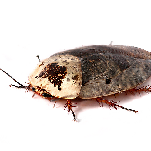 Porcelain Cockroach (Gyna lurida)