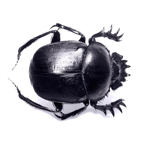Egyptian Scarab Beetle (Scarabaeus scarab)