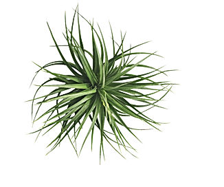 air plant with scientific name Tillandsi