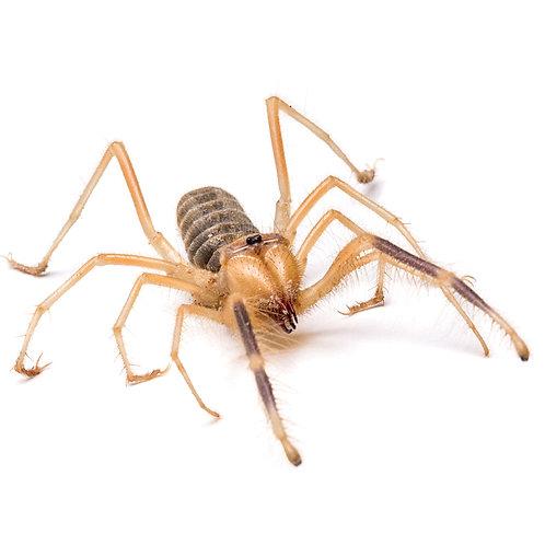 Giant Camel Spider (Galeodes araneoides)