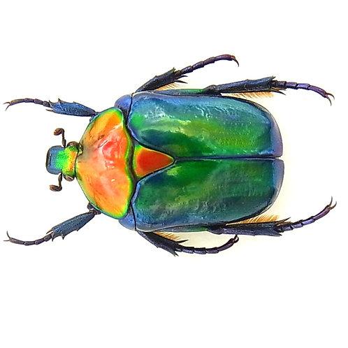 Turkish Flower Beetle Grubs (Cetonischema speciosa joisselini)