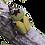 Thumbnail: Ethiopian Velvet Beetle Grub (Compsocephalus dimitriewi)