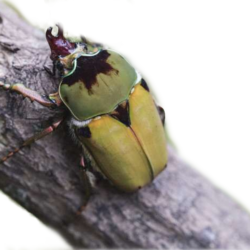 Ethiopian Velvet Beetle Grub (Compsocephalus dimitriewi)