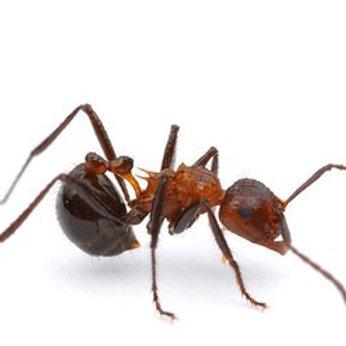 Natal Droptail Ant (Myrmicaria natalensis)