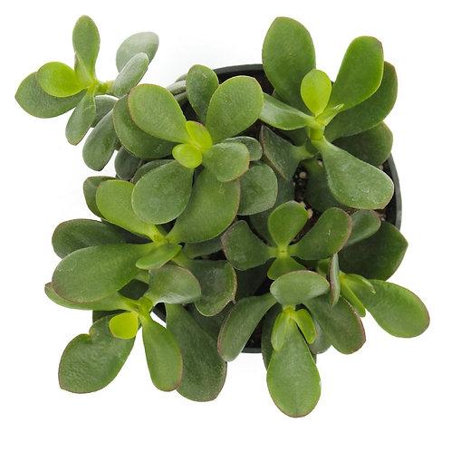Dollar Plant (Crassula ovata )
