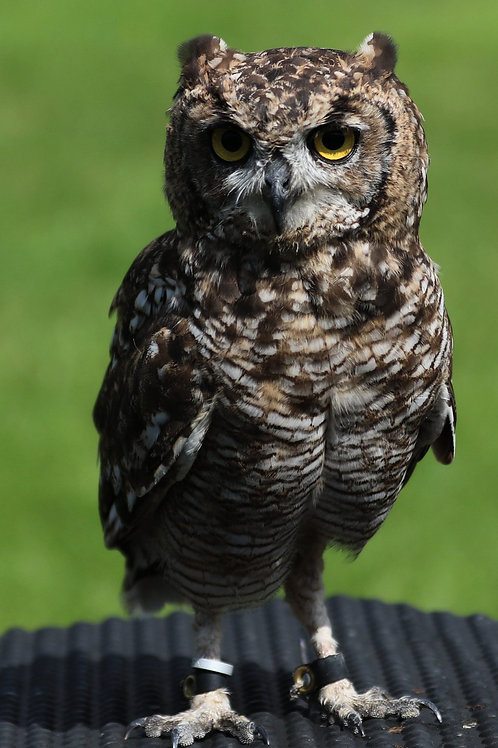 African Spotted Eagle Owl Adoption