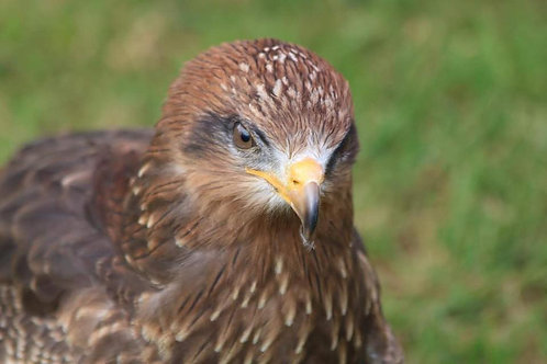 Yellow Billed Kite Adoption