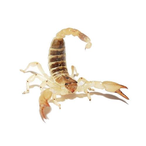 Golden Desert Scorpion (Scorpio maurus)