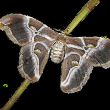 Indian Eri Silkmoth Caterpillars (Samia cynthia ricini)