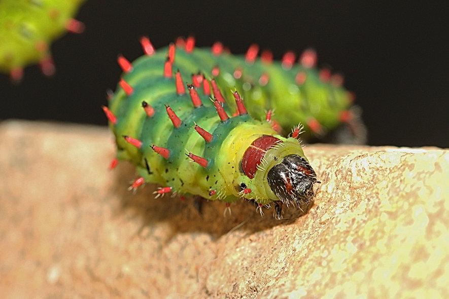 Caterpillar of the Suraka Silk Moth on a