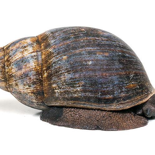 African Marginata Snails (Archachatina marginata)