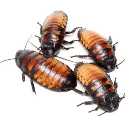 Madagascan Hissing Cockroach (Gromphadorhina portentosa)