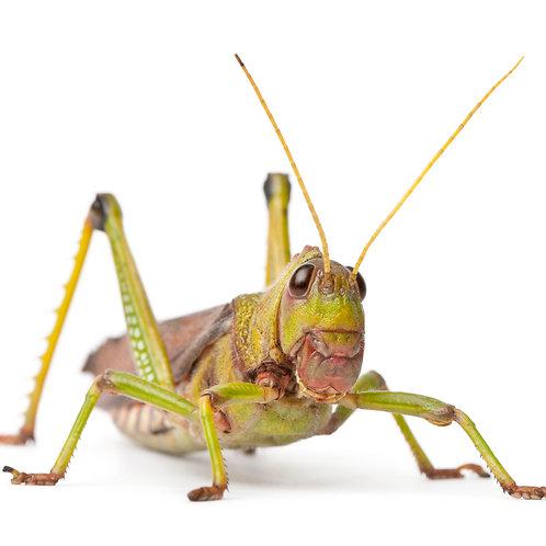 Violet Winged Grasshopper Nymphs (Tropidacris collaris)