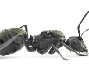 Weaver Ant Care