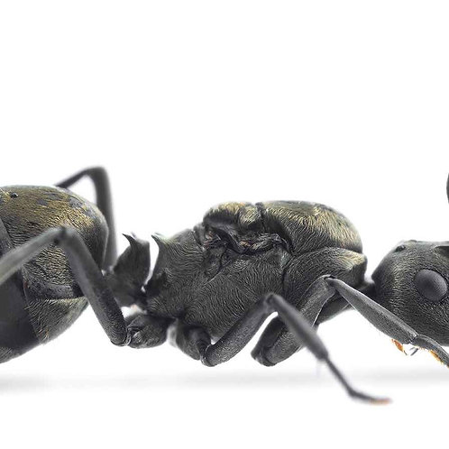 Weaver Ants (Polyrhachis dives)