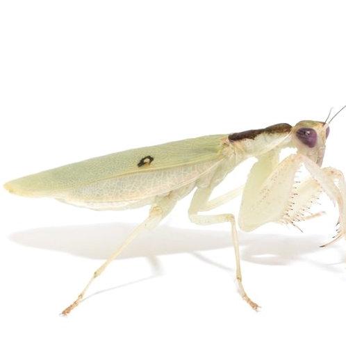 Nigerian Flower Mantis Nymph (Cloroharpax modesta)