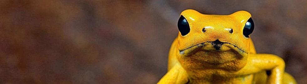 golden-poison-frog-Habitat-loss-native-r