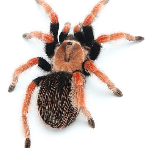 Mexican Fire Leg Tarantula (Brachypelma boehmei)